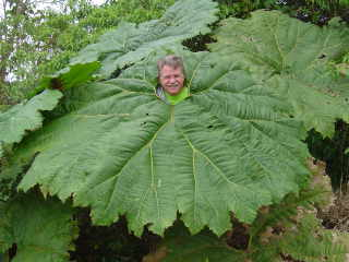 Large leaf umbrella plants found on humid Caribbean side of Costa Rica, near La Paz Waterfall Gardens